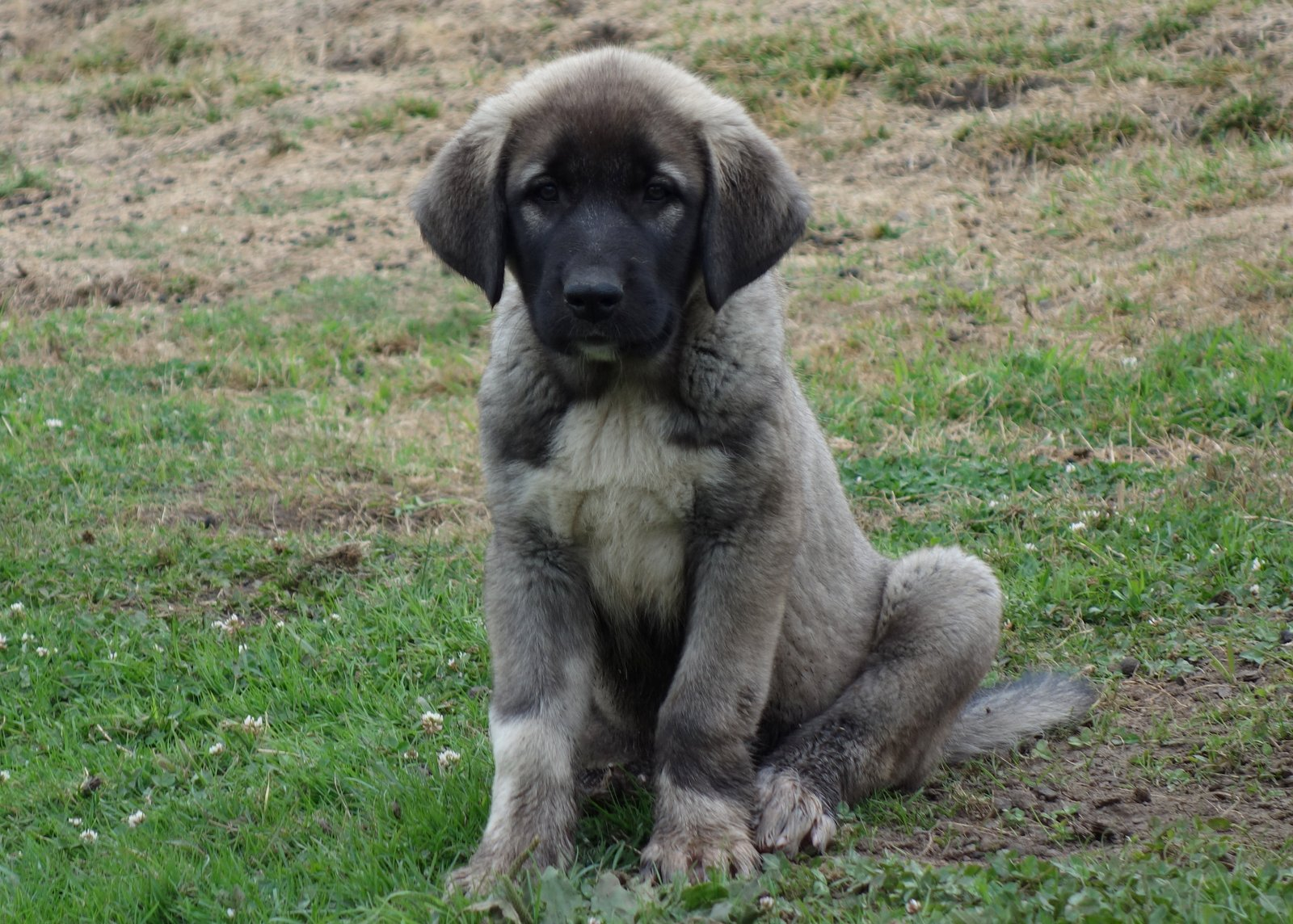 Shepherds Rest Farm: ANATOLIAN SHEPHERD PUPPIES AVAILABLE