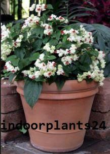 Verbenaceae BLEEDING HEART VINE indoor Plant picture