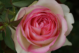 A rose - The basis of Olympian Dew was probably rosewater