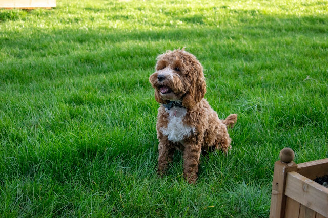 Red and white cockapoo puppy sat on field