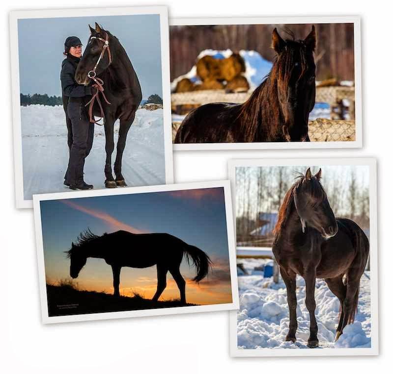 Ворон. Сенавиан, там где конные прогулки. Лошади в Тверской области.