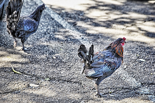 rooster running around the parking lot of the Maui Tropical Plantation