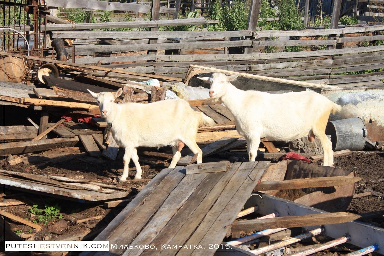 Козы в камчатской деревне