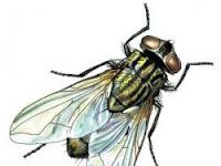 Inilah Jawaban Mengapa Kita Harus Cepat Mengusir Lalat yang Hinggap pada Makanan