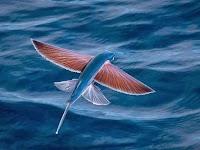 السمكة الطائرة (اكسوسيتيدي) من اغرب الاسماك على الاطلاق