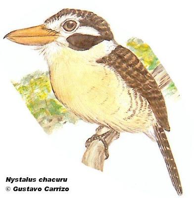aves de Misiones Chacurú cara negra Nystalus chacuru