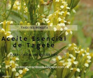 El aceite esencial de tagete minuta tiene propiedades antihelmíntico, antiespasmódico, bactericida