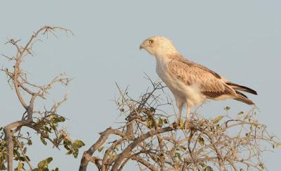 ORNITHONDAR - des oiseaux à Saint-Louis et dans le nord du Sénégal ... d58e661f8e7