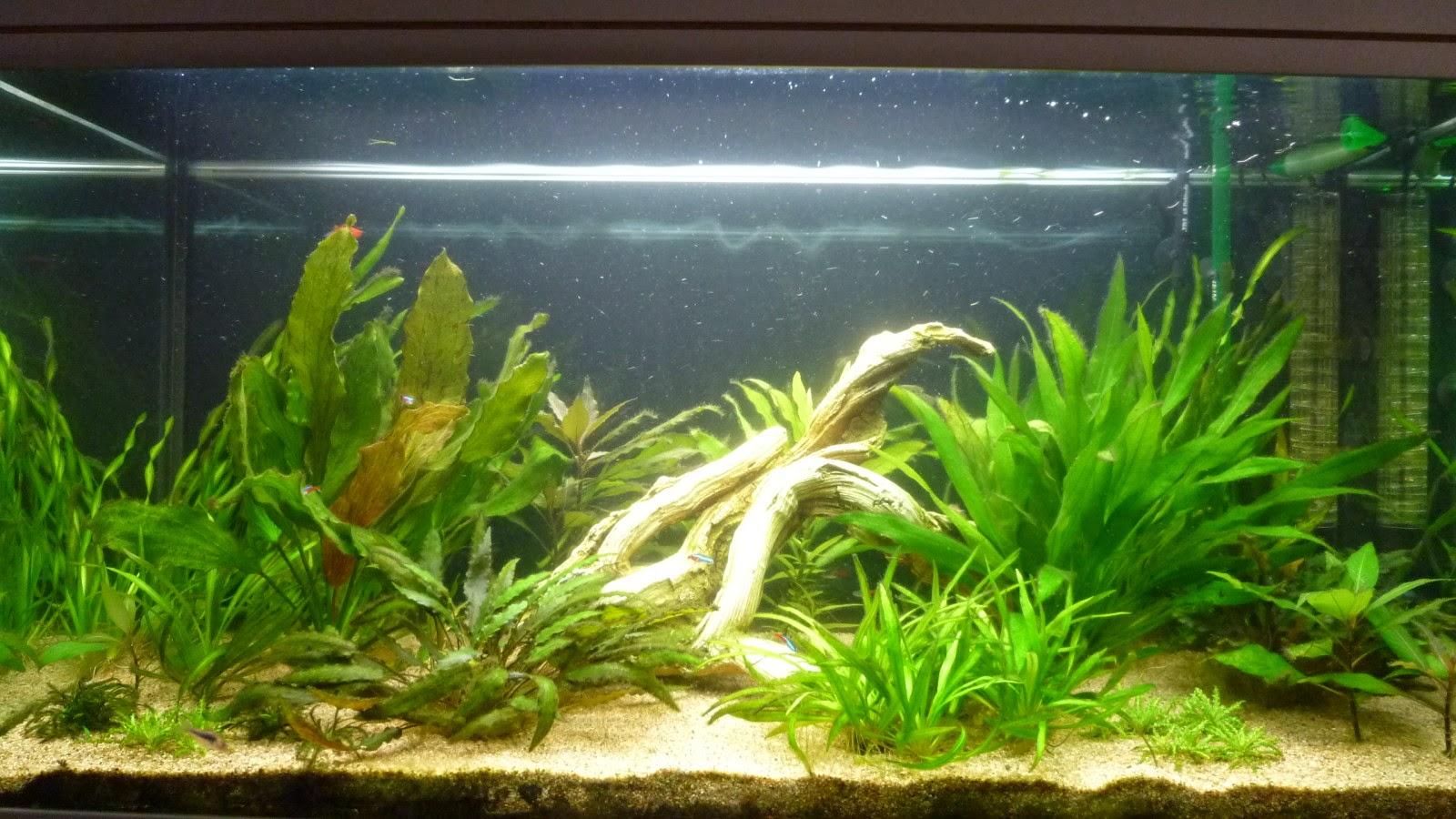 l 39 aquarium de nicolas le point sur les algues noires. Black Bedroom Furniture Sets. Home Design Ideas