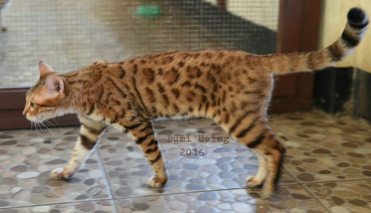 Bengal Cat For Adoption Malaysia