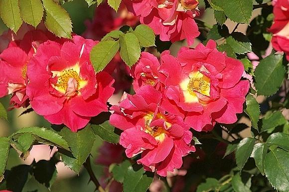 Bajazzo rose сорт розы фото