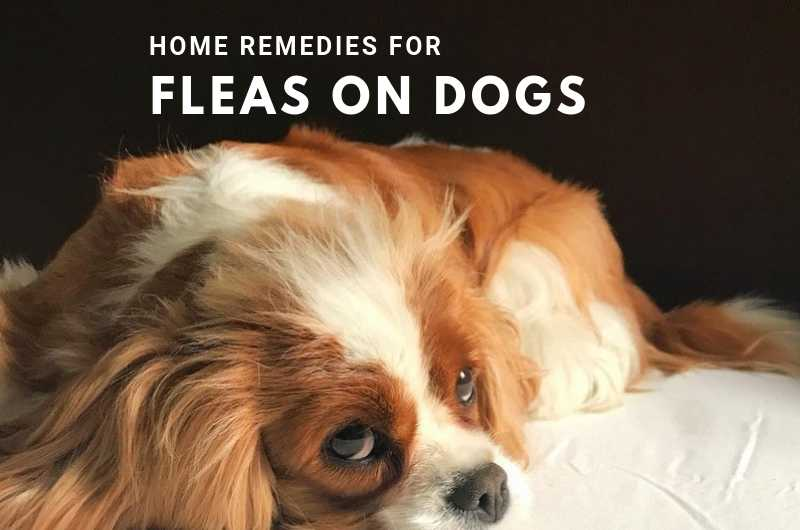 Home Remedies For Fleas on Dogs - Natural Flea Treatment