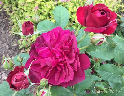 Roses in June 2016