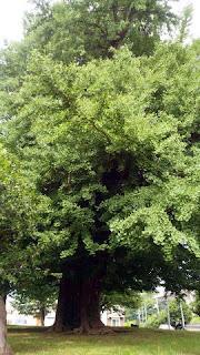 樹齢500年の銀杏の木