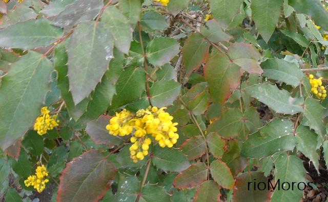 Planta de MAHONIA DE CALIFORNIA Mahonia pumila