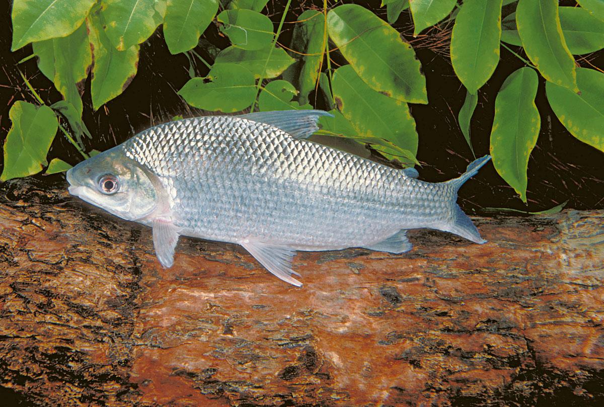 Curimatã ou Curimba (Prochilodus nigricans)