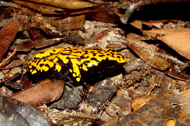 Sapos venenosos - Dendrobatídeos - Amazonia