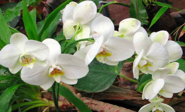 Orquídea cymbidium 2
