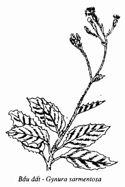 Hình vẽ Bầu Đất - Gynura sarmentosa - Nguyên liệu làm thuốc Chữa Cảm Sốt