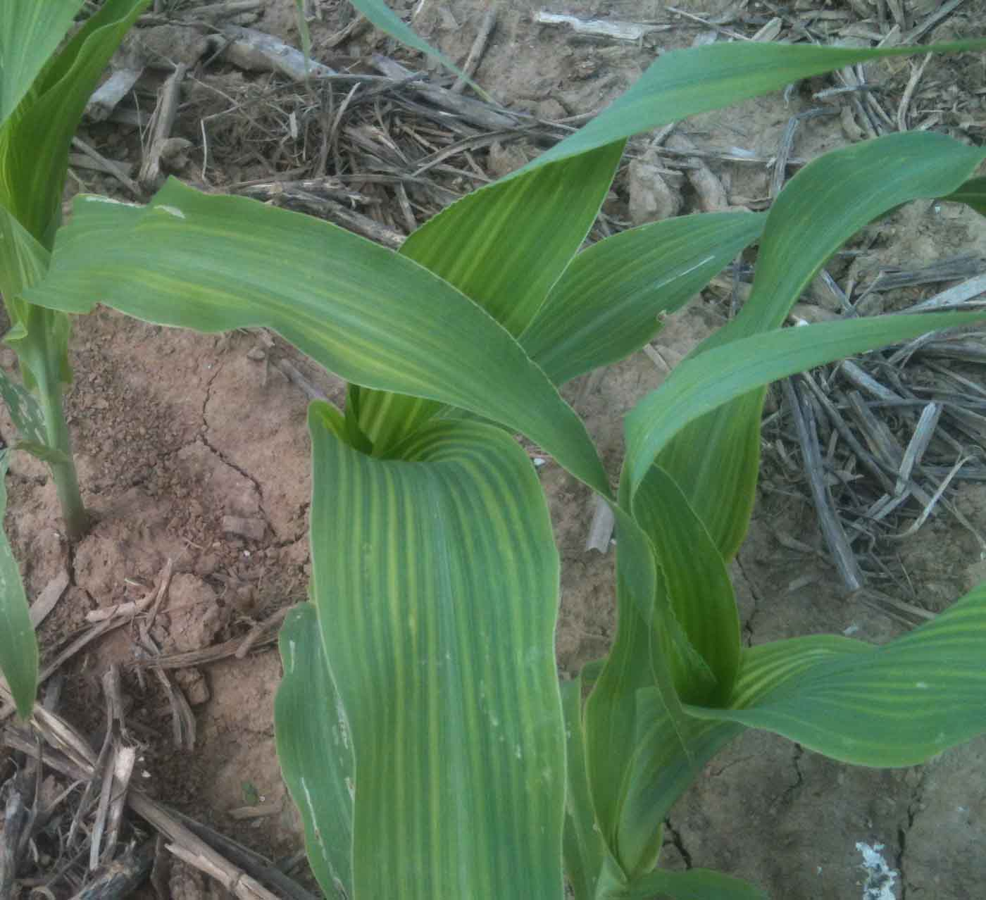 Grain crops update early season corn nutrient for Soil zinc deficiency