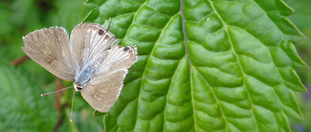Mallow-scrub hairstreak on porterweed leaf