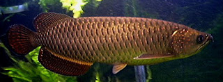 Ikan Arwana Irian (Jardini)