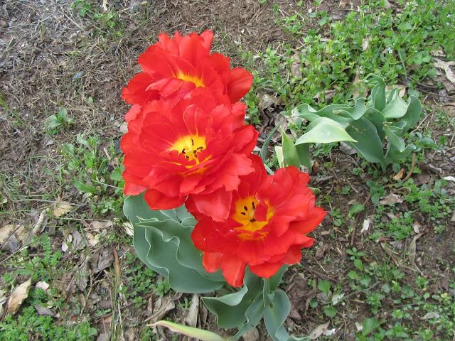 Tulipani Rossi-Gialli