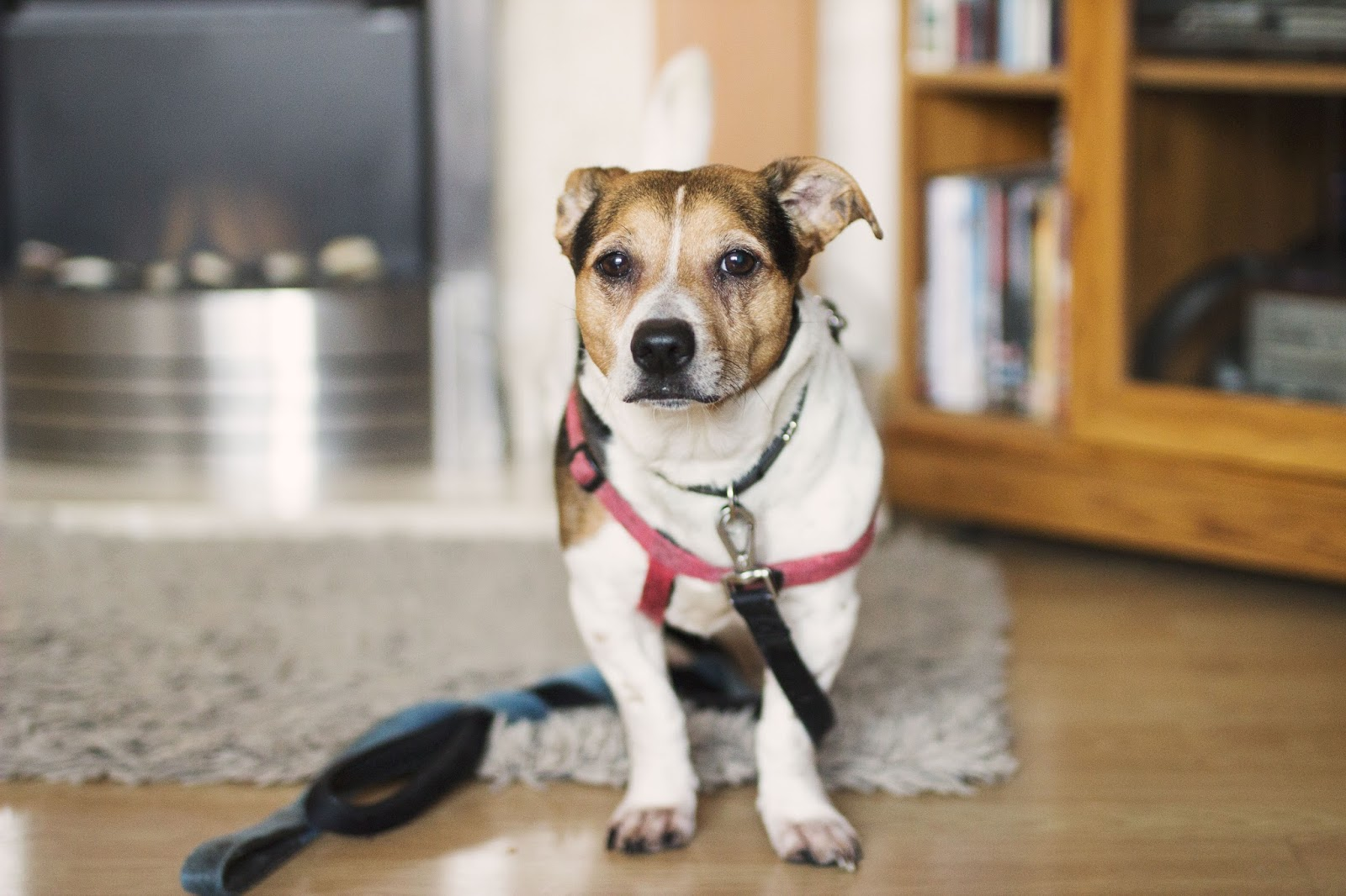 Cookie The Jack Russell, Cookie, Dog, Lancashire Heeler Jack Russell Cross, Katie Writes,