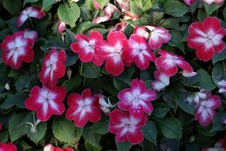 Impatiens super elfin xp Red Starburst