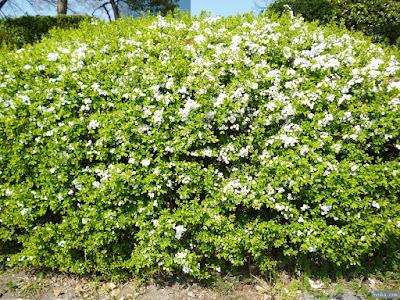 白い花の生垣