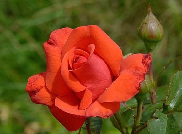 Salita сорт розы фото купить саженцы питомник