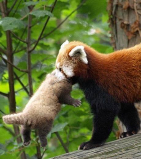 Matin lumineux le panda roux - Dessin panda roux ...