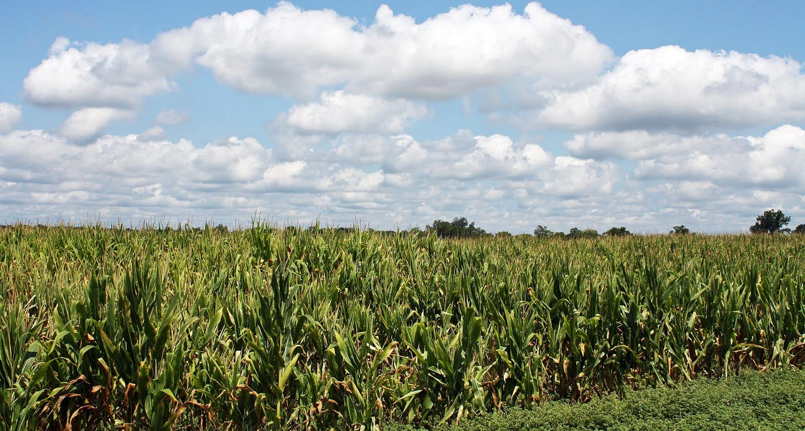 Cornfield Photos