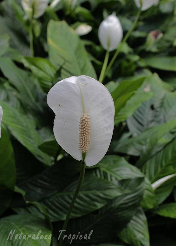 Otra foto de la inflorescencia de un Espatifilo, género Spathiphyllum
