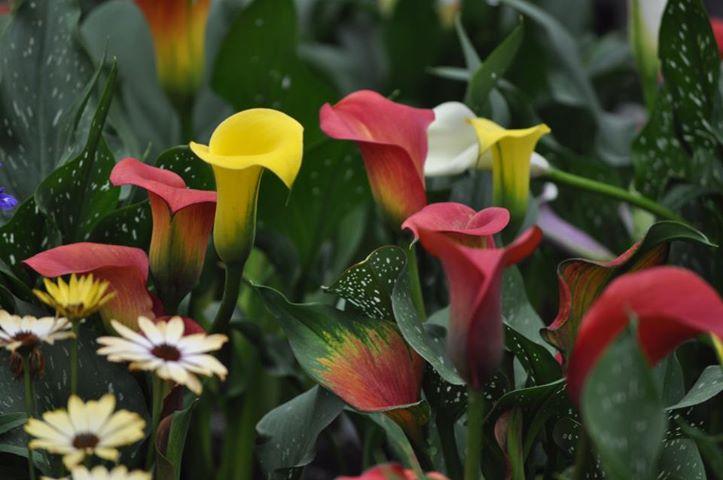 How To Grow The Calla Lily The Garden Of Eaden