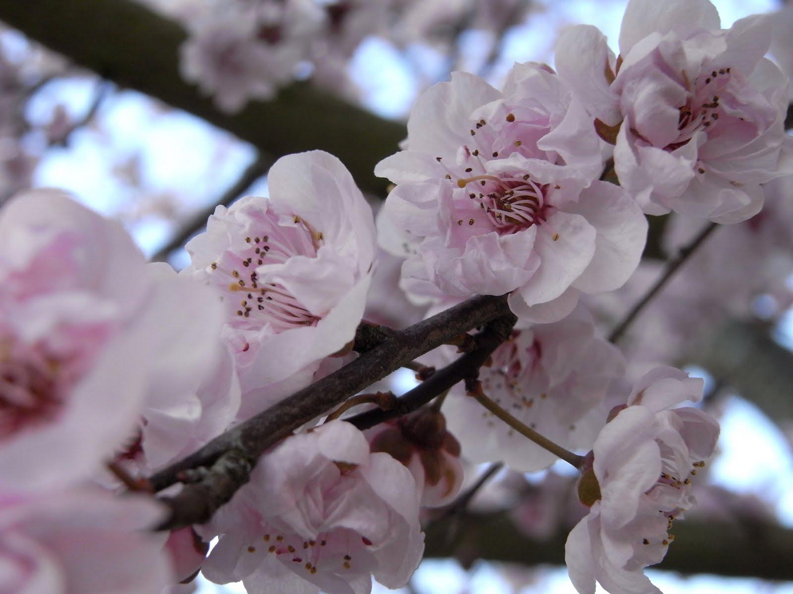 graines de toussus fleurs de cerisier le renouveau. Black Bedroom Furniture Sets. Home Design Ideas