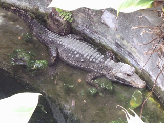 mini crocodile Marwell Zoo