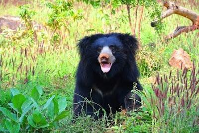 Sloth Bear of Assam