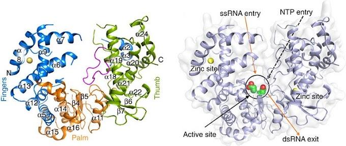 Brasileiros desvendam proteína essencial à replicação do vírus zika