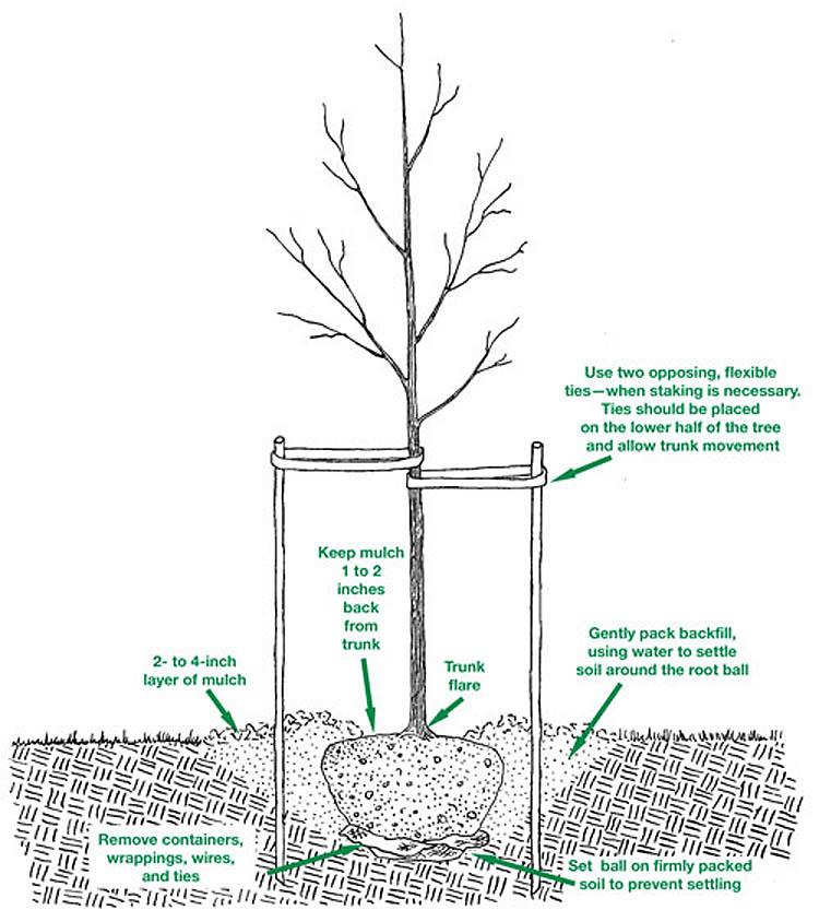 Whispering Hills Nursery Blog Tree Amp Shrub Planting Tips