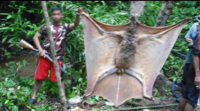 Resultado de imagem para Morcego gigante é capturado na selva das Filipinas e deixa milhares de pessoas impressionadas