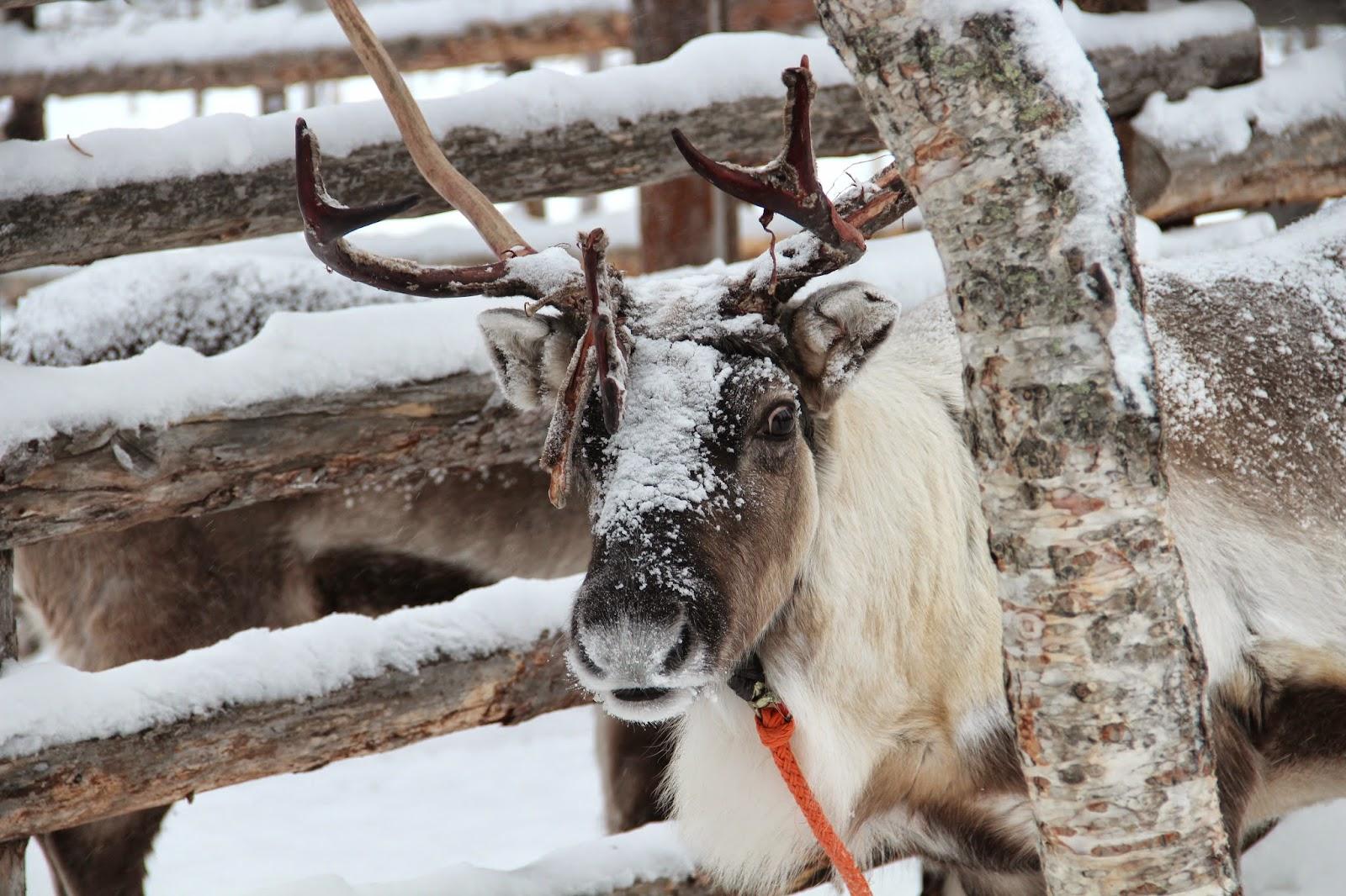 Reindeer Finnish Lapland