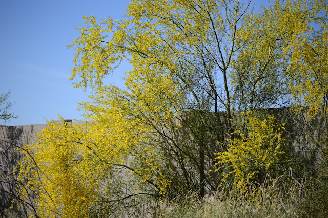parkinsonia floridum, blue palo verde, bloom, spring, small sunny garden, amy myers, sonoran desert