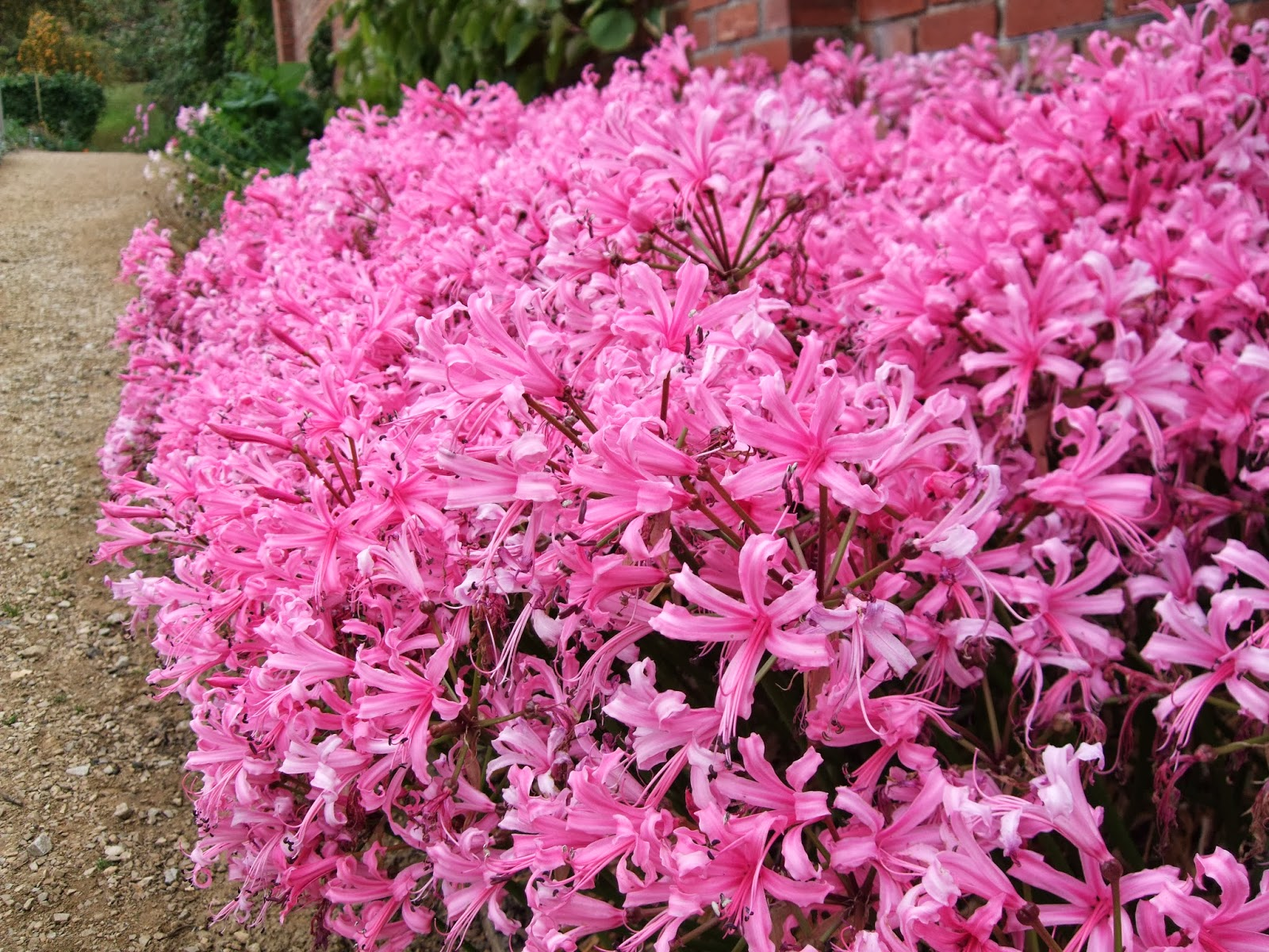 how to grow nerines from seed