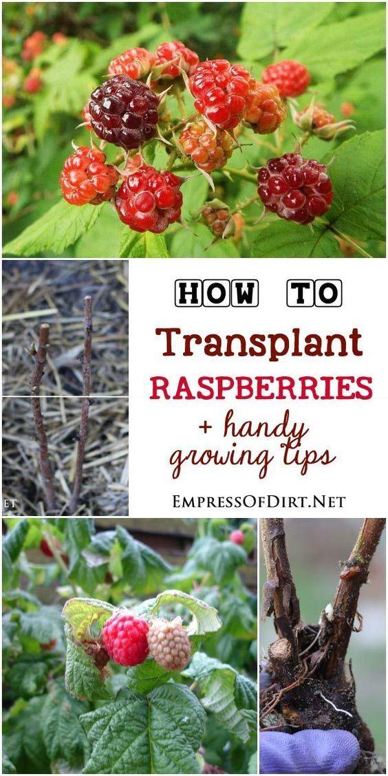 Best ideas about Growing, Plants, Harvesting Raspberries ...
