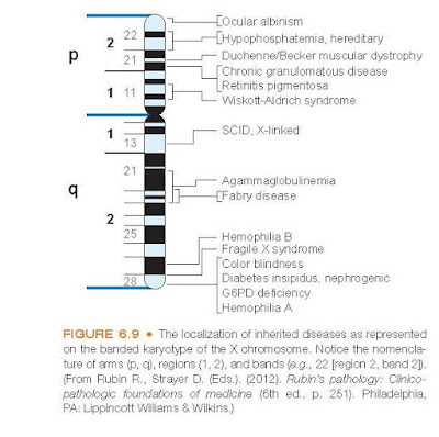 The localization of inherited diseases as represented on the banded karyotype of the X chromosome.