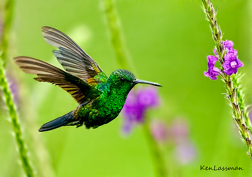 Cute Asian Babies Wallpapers Emerald Chinned Hummingbird Wallpapers 521 Entertainment