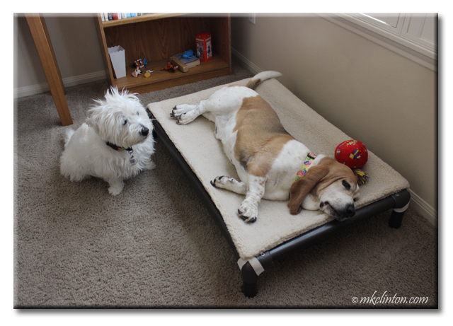 Basset on dog bed with Westie watching