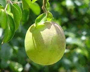 Propriedades do fruto umbu ou imbu