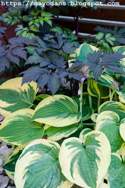 Schattenpflanzen Silberkerze Funkie